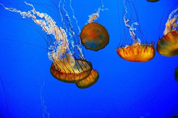 Jellyfish in the Monterey Bay Aquarium