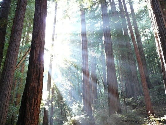 Sunshine through the mighty Redwood