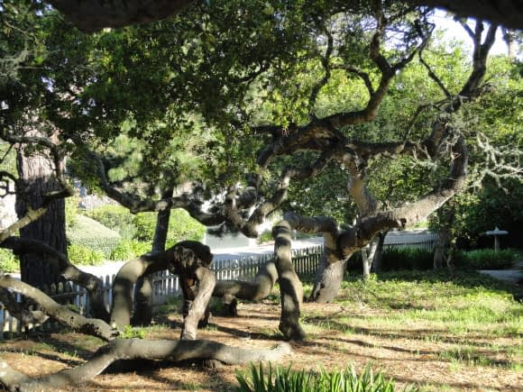 In Carmel, every tree is sacred